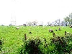 die natürlichen Rasenmäher auf dem Rheindamm
